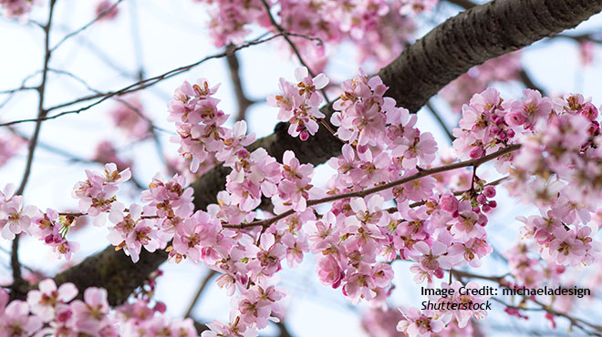 Japan S Cherry Blossom Viewing Party Cancellations And Controversy